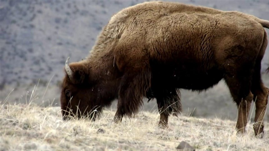 Woman, 72, gored by bison at Yellowstone after getting too close for photos, park says 2